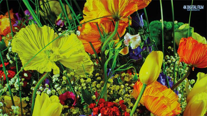 Buntes 4K-Stillleben: Auf der großen Leinwand wirkt das Blumenbouquet farbecht sowie dank der Tiefenschärfe der hochkarätigen SDR-Aufnahme enorm plastisch.